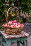 Cesta de maçãs maduras Fotos de Stock Royalty Free