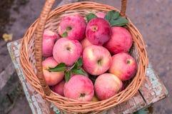 Cesta de maçãs maduras Fotografia de Stock