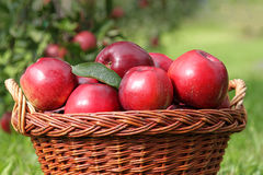 Cesta de manzanas rojas Imágenes de archivo libres de regalías