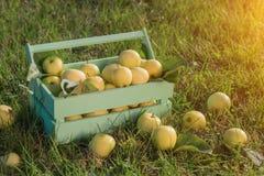 Cesta de mimbre con las manzanas amarillas en el jardín Fotografía de archivo