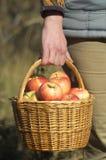 Cesta de mimbre con las manzanas en la mano de la mujer Imagen de archivo