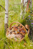 Cesta de mimbre con las setas en fondo del bosque Fotografía de archivo libre de regalías