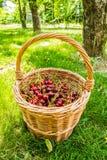 Cesta de mimbre por completo de cerezas de la empanada Foto de archivo