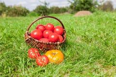 Cesta de mimbre por completo de tomates rojos ecológicos frescos Fotos de archivo libres de regalías