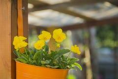 Cesta de suspensão de flores amarelas Imagens de Stock