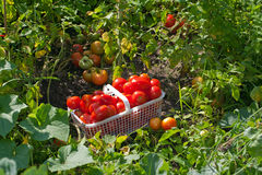 Cesta de tomates maduros del campo en el jardín Fotografía de archivo