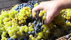 Cesta de uvas cosechadas en viñedo almacen de metraje de vídeo