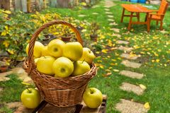 Cesta de vime com as maçãs amarelas no jardim Foto de Stock Royalty Free