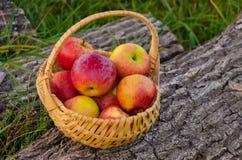 A cesta de vime com as maçãs vermelhas brilhantes está em um aga de madeira da plataforma Imagens de Stock Royalty Free