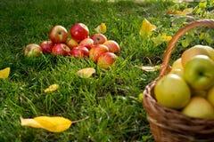 Cesta de vime com maçãs amarelas Fotografia de Stock