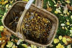Cesta de vime com os tubaeformis do craterellus dos cogumelos Fotografia de Stock