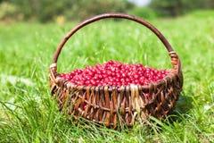 Cesta de vime completamente da airela vermelha ecológica fresca Fotos de Stock