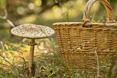 Cesta de vime completamente dos cogumelos e de cogumelos crescentes Imagens de Stock Royalty Free