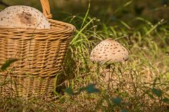 Cesta de vime completamente dos cogumelos e de cogumelos crescentes Fotografia de Stock
