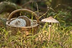 Cesta de vime completamente dos cogumelos e de cogumelos crescentes Fotografia de Stock Royalty Free