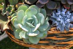 Cesta del Crassulaceae Fotos de archivo libres de regalías