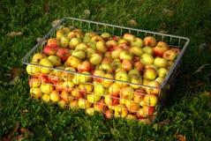 Cesta del metal por completo de manzanas escogidas mano Fotos de archivo libres de regalías