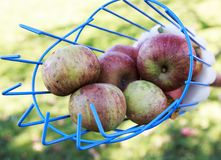 Cesta del recogedor de la fruta que recoge manzanas Fotografía de archivo