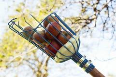 Cesta del recogedor de la fruta que recoge manzanas Foto de archivo libre de regalías