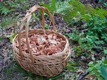 A cesta dos cogumelos na floresta do outono Foto de Stock