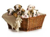 Cesta dos filhotes de cachorro Fotos de Stock Royalty Free