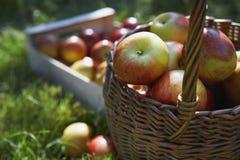 Cesta e caixa de maçãs na grama Fotografia de Stock