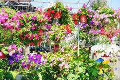 Cesta enchida com os petúnias coloridos vibrantes Fotografia de Stock