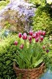Cesta floreciente del tulipán Foto de archivo libre de regalías