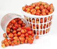 Cesta inclinada de tomates del campo Imágenes de archivo libres de regalías