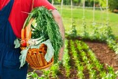Cesta levando do jardineiro com vegetais orgânicos Fotografia de Stock