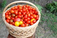 Cesta por completo con los tomates de cereza Imagen de archivo libre de regalías