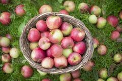 Cesta por completo de manzanas en hierba Imagen de archivo libre de regalías