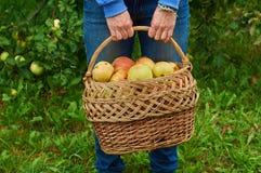 Cesta por completo de manzanas en manos femeninas foto de archivo libre de regalías