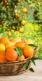 Cesta por completo de naranjas y de limones en jardín Foto de archivo libre de regalías