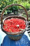 Cesta por completo de pasa roja madura en el jardín Foto de archivo