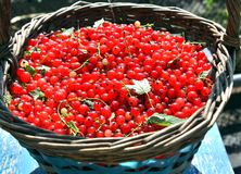 Cesta por completo de pasa roja madura en el jardín Imágenes de archivo libres de regalías