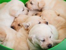 Cesta por completo de perritos de Labrador que abrazan junto imágenes de archivo libres de regalías