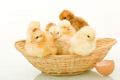 Cesta por completo de pollos mullidos del bebé Foto de archivo libre de regalías