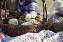 Cesta por completo de polluelos Imagen de archivo