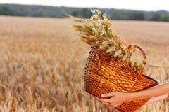 Cesta por completo de trigo de los oídos en manos de la mujer Imagen de archivo