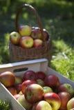 Cesta y cajón de manzanas en hierba Foto de archivo