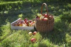 Cesta y cajón de manzanas en hierba Fotografía de archivo