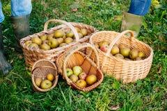 Cestas das maçãs na grama e nos pés de dois povos com chuva Foto de Stock