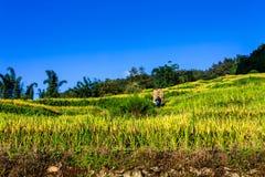 Cestas de bambú que llevan de un hombre étnico no identificado a través de terrazas del arroz Fotos de archivo libres de regalías