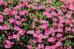 Cestas de flores colgantes de la petunia en balcón Flor de la petunia en planta ornamental Flores violetas del balcón en potes Fo imagen de archivo libre de regalías