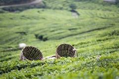 Cestas de la hoja de té imagen de archivo libre de regalías