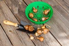 Cestas para plantar bulbos com os bulbos dos narcisos amarelos e do jardim sh Imagem de Stock