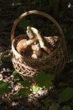 Cestino con i funghi Boletus nella foresta Immagini Stock