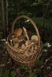 Cestino con i funghi Boletus nella foresta Fotografia Stock Libera da Diritti