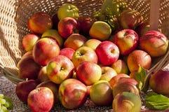 Cestino di colore rosso e delle mele dell'oro Immagine Stock